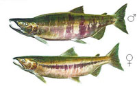 Mature Chum (Male and Female)