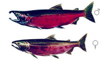 Mature Coho (Male and Female)